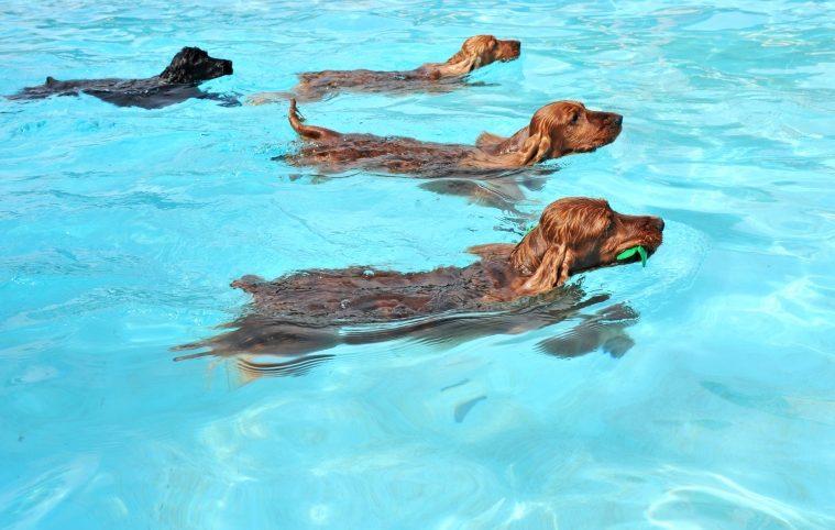 Hundar simmar.